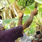 Banana-farmers